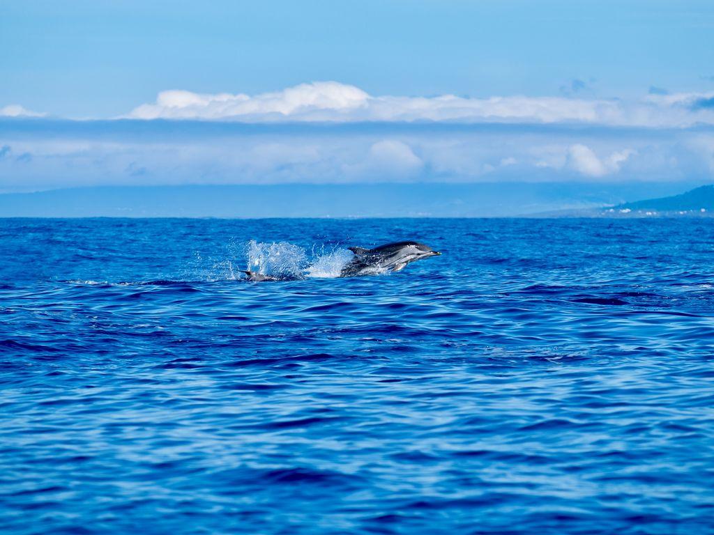 Dolfijnen Azoren