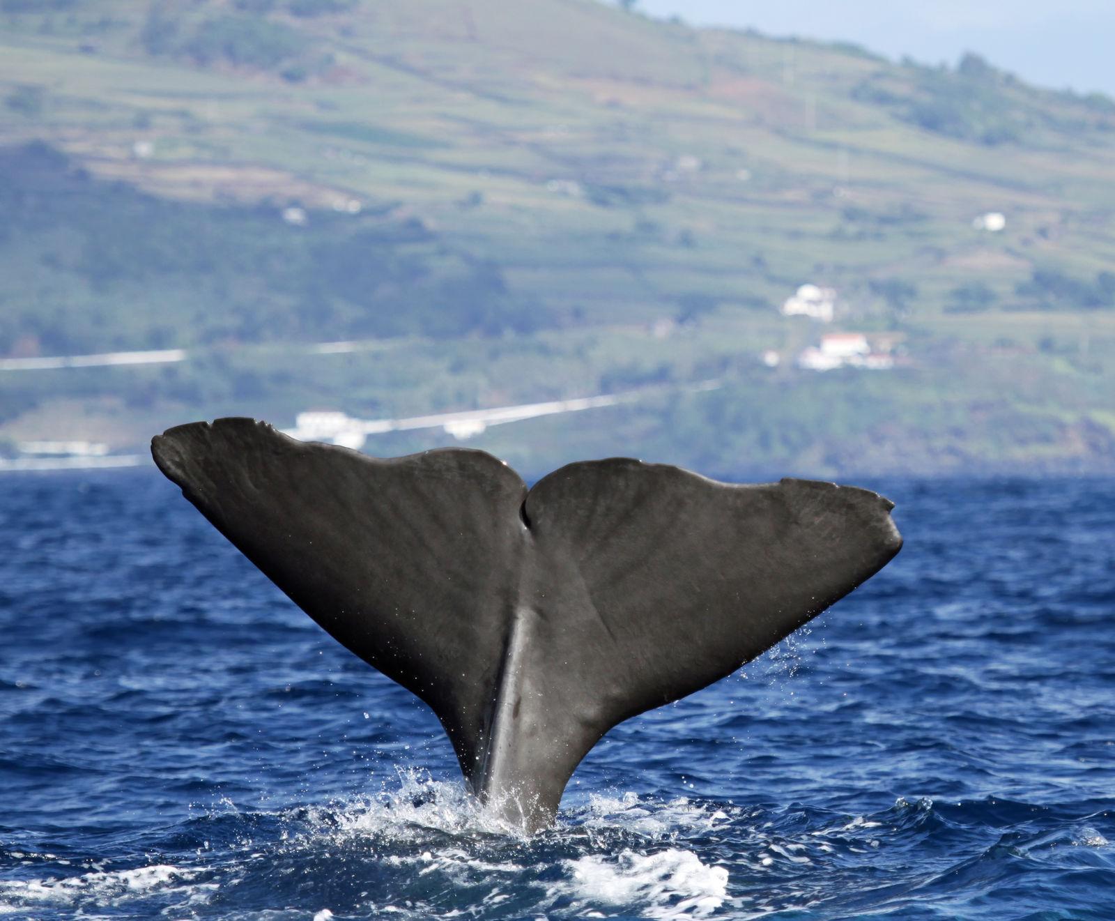 walvissen azoren