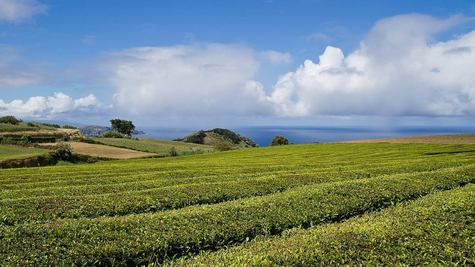 Uitzicht op de oceaan vanaf de theeplantage van Cha Gorreana tea factory