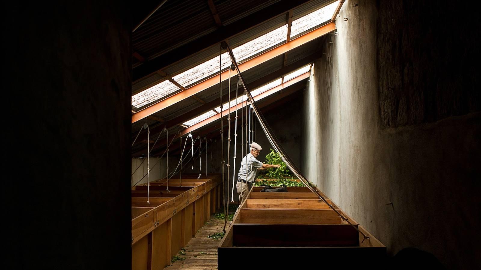 Het drogingsproces in de Cha Gorreana tea factory op Sao Miguel