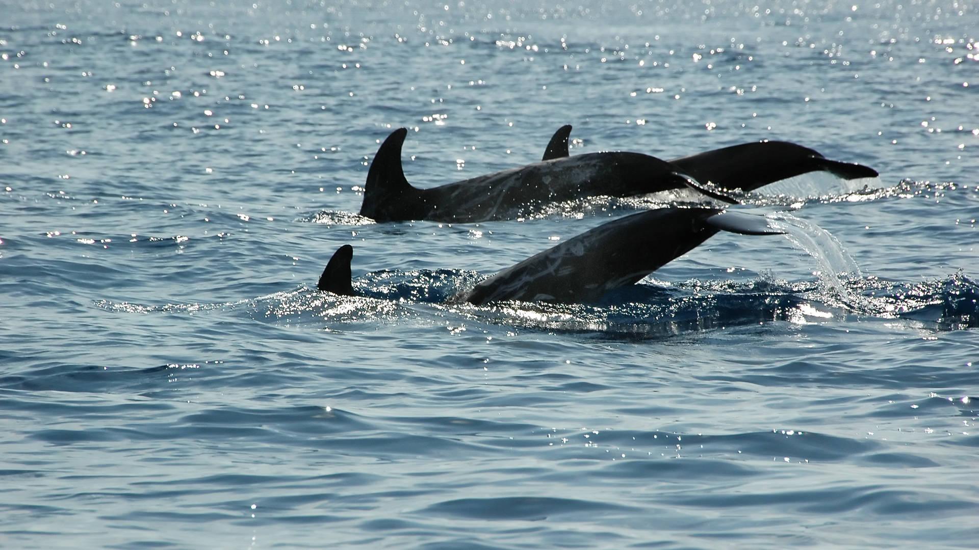 dolfijnen rondom de Azoren