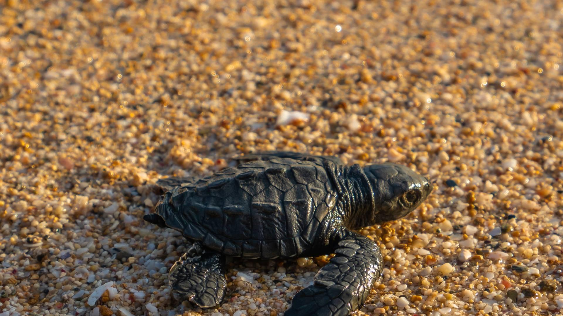 Baby zeeschildpad voor het eerst de zee in - Schildpadden spotten is niet altijd even onschuldig