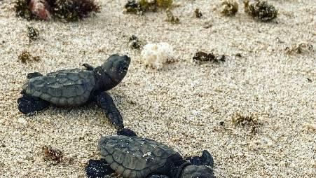 mannetjes schildpadden boa vista