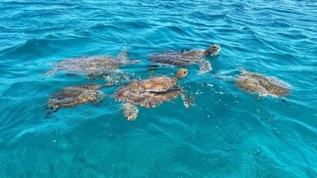 mannetjes schildpad