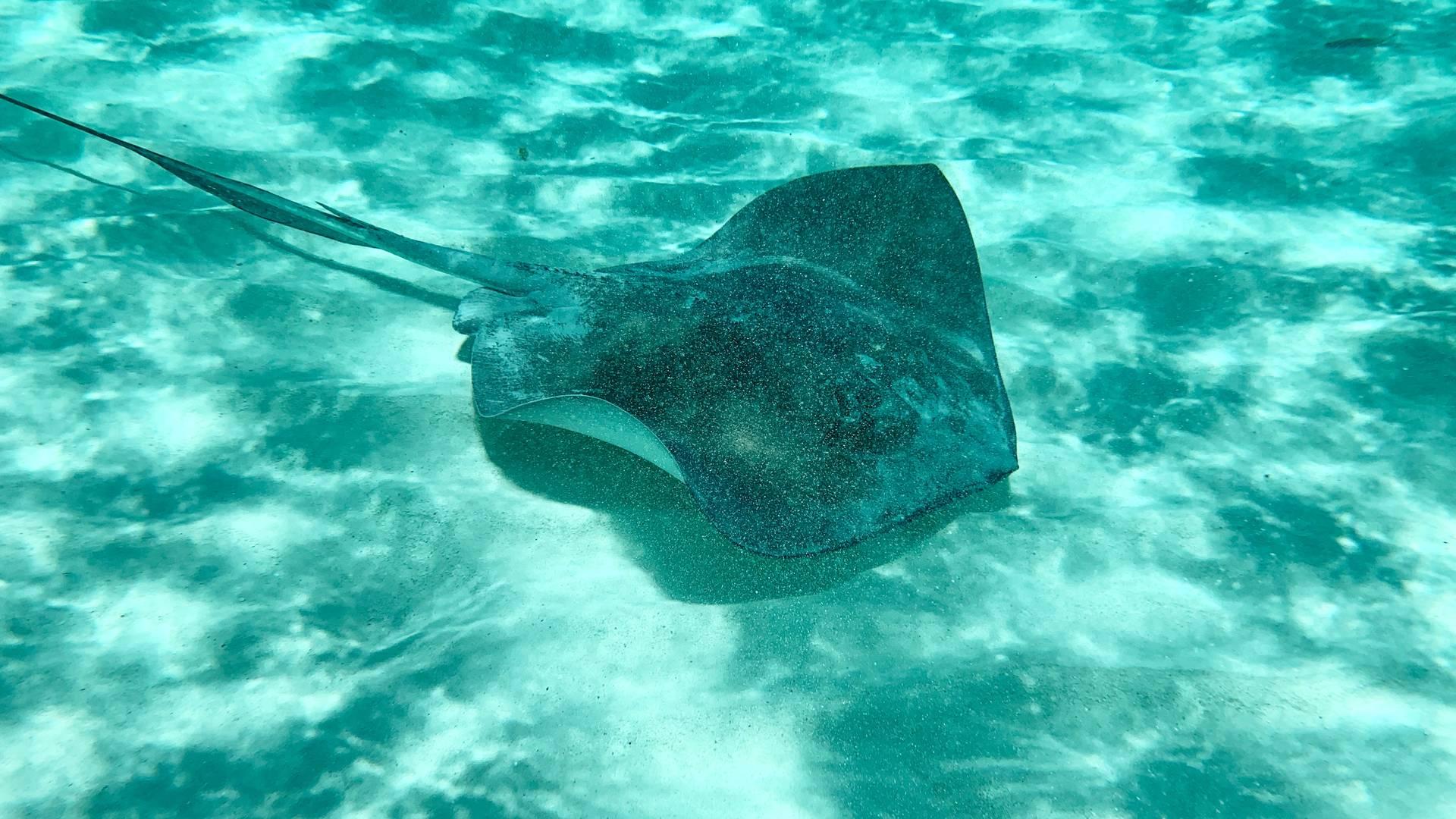 pijlstaartrog gespot tijdens het snorkelen op Madeira
