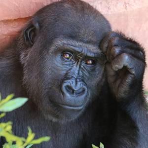 Chimpansee van Jane